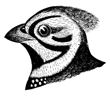 This image represents Massena Quail vintage line drawing or engraving illustration.