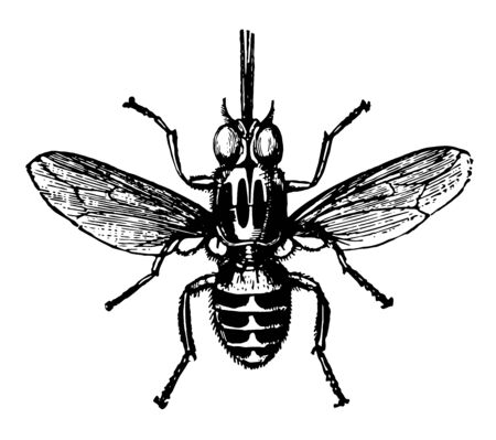 The Tsetse Fly is large biting flies that inhabit much of tropical Africa vintage line drawing or engraving illustration. Ilustração