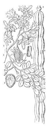 A European plant of the cabbage family, with long dock-like leaves, grown for its pungent edible root, vintage line drawing or engraving illustration.