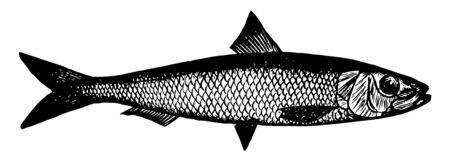 La sardine californienne est un petit poisson lié au dessin de ligne vintage de hareng ou à l'illustration de gravure.