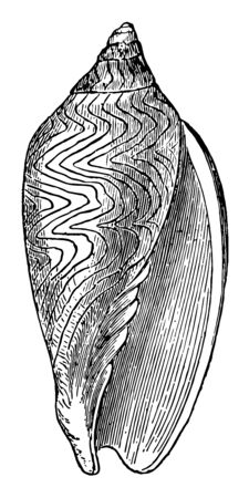 Voluta Undulata is marine gastropod molluscs in the family Volutidae vintage line drawing or engraving illustration.