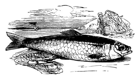 Atlantic Herring is one of the most abundant species of fish vintage line drawing or engraving illustration.