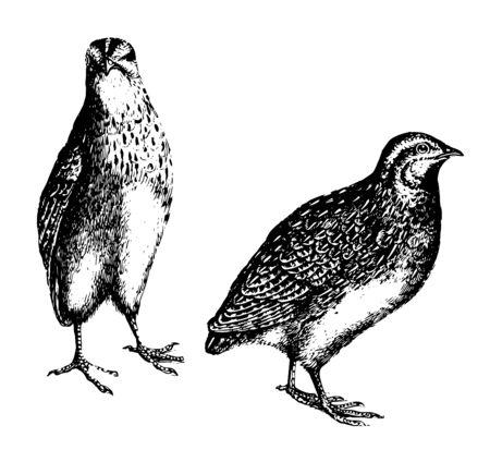 La caille a un petit bec et un petit orteil arrière inséré en haut d'un dessin au trait vintage ou d'une illustration de gravure. Vecteurs