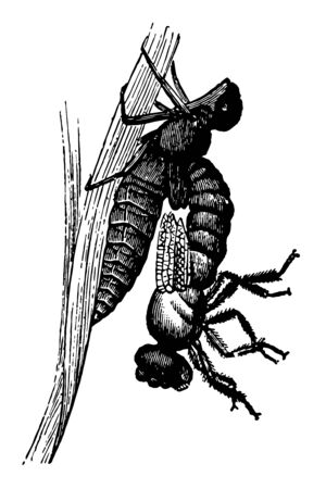 This illustration represents Libellula Emerging vintage line drawing or engraving illustration.