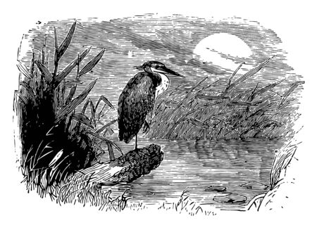 Night Heron are medium sized herons 58 to 65 cm in the genera Nycticorax Nyctanassa and Gorsachius vintage line drawing or engraving illustration. Иллюстрация