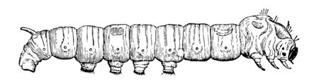 Fifth Age of Silkworm has very nearly reached the end of its career in the caterpillar state vintage line drawing or engraving illustration. Illustration