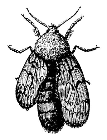 This image represents Moth Whose Wings are Developing vintage line drawing or engraving illustration. Иллюстрация