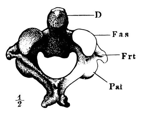 Cette illustration représente l'axe qui est la 2e illustration vintage de dessin ou de gravure de vertèbre cervicale. Vecteurs