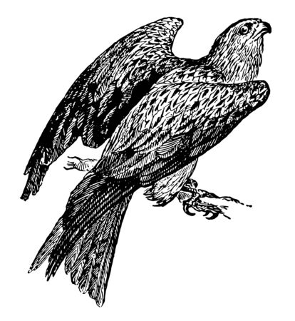 European Kite is very miscellaneous feeder, vintage line drawing or engraving illustration. Ilustração