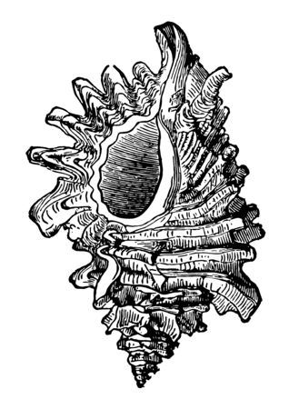 Murex Erinaceus is a species of predatory sea snail and a marine gastropod mollusk in the family Muricidae vintage line drawing or engraving illustration. Çizim