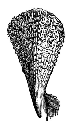 Pinna Nobilis with its byssus was so called from its resemblance to the plumelet vintage line drawing or engraving illustration. Illustration