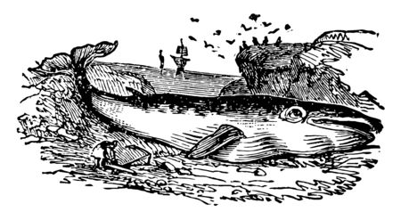 Rorqual Whale Side which are supposed to be susceptible of great dilation vintage line drawing or engraving illustration. Vettoriali