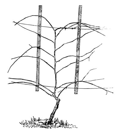 This illustration represents Unpruned Vine shown according to the Hudson horizontal system vintage line drawing or engraving illustration. 일러스트