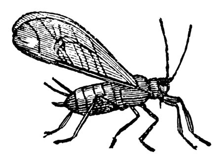 Winged Aphides or Plant Lice are sometimes provided with wings and are sometimes without vintage line drawing or engraving illustration.