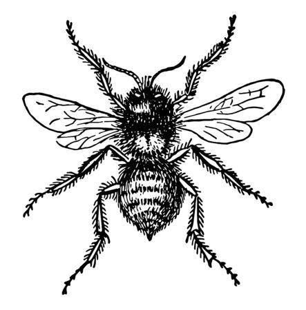 Bumblebee is a member of the genus Bombus vintage line drawing or engraving illustration.