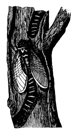 Female Cicada Laying her Eggs in the Groove She has Bored in the Branch of a Tree vintage line drawing or engraving illustration. Reklamní fotografie - 132817142