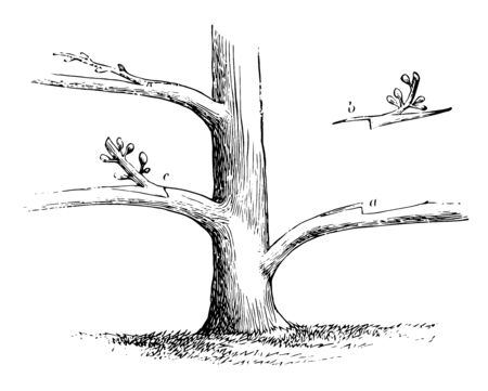 This illustration represents Side Grafting which is used to insert scions without cutting away the head of the stock vintage line drawing or engraving illustration. Illustration