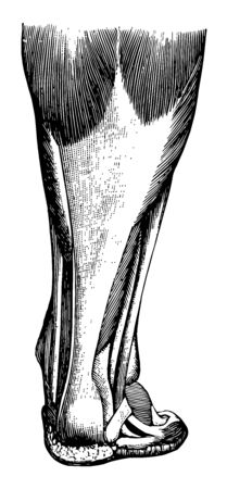 Tendons are white glistening cords or straps which connect the muscles with the bones vintage line drawing or engraving illustration.