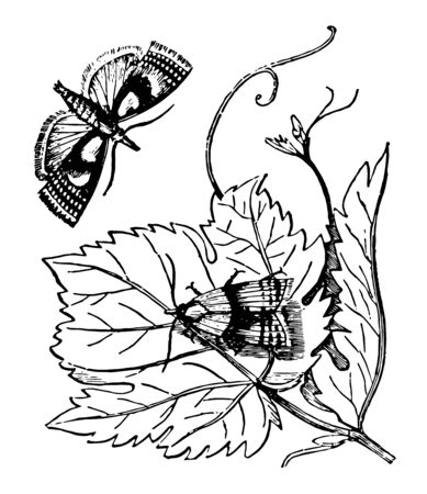 The Vine Pyralis is to be seen mostly at sunset vintage line drawing or engraving illustration.