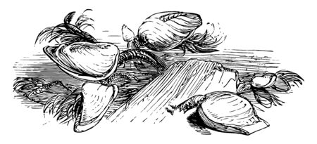 Goose Necked Barnacle which is a species of goose necked barnacles vintage line drawing or engraving illustration. Ilustração