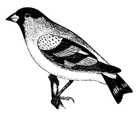 This illustration represents lawrence Goldfinch vintage line drawing or engraving illustration.