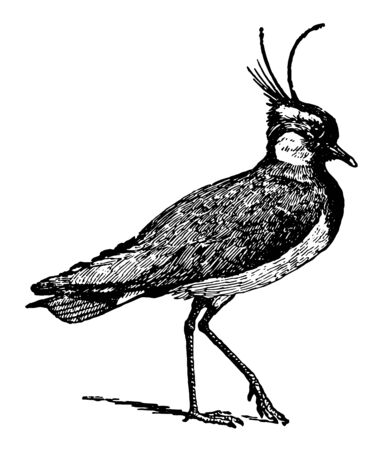 Lapwing also known in Great Britain as peewit, vintage line drawing or engraving illustration.