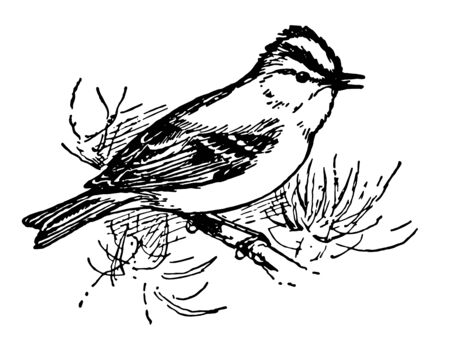 Golden Crested Wren is the smallest of European birds, vintage line drawing or engraving illustration. 向量圖像