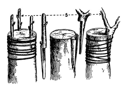 This illustration represents Crown Grafting which is a horticultural operation, vintage line drawing or engraving illustration.