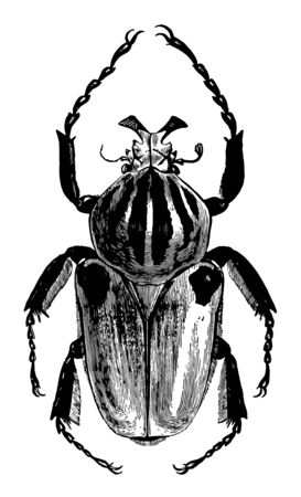 Goliathus Cacicus found on the coast of Guiana vintage line drawing or engraving illustration.