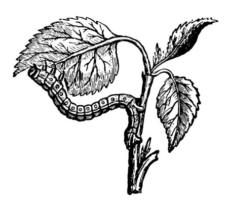 Looper Caterpillar Eating the Leaves of the Apricot while the insects jaws cut the leaf vintage line drawing or engraving illustration.