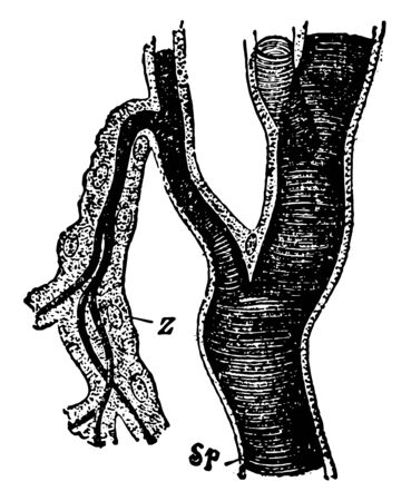Tracheal Stem and Branches where the cellular outer wall is present vintage line drawing or engraving illustration.