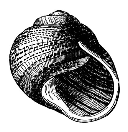 Helix Undulata which is tun bottomed classification of the genus Helix vintage line drawing or engraving illustration.