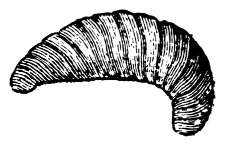 Larva of the Bee in which food is made to acquire a more decided taste of honey vintage line drawing or engraving illustration.