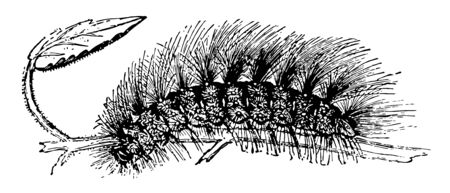 Larva of Chelonia Caja is covered with long vintage line drawing or engraving illustration. Illustration