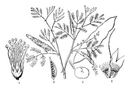 La gomme arabique est un mélange complexe de glycoprotéines et de polysaccharides. C'est la source originale du dessin au trait vintage des sucres ou de l'illustration de gravure. Vecteurs