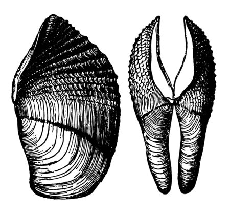 Pholas Crispata is able to hollow out a home in a solid block of gneiss vintage line drawing or engraving illustration. Illusztráció