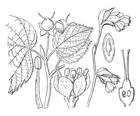 A diagram showing different parts of Winter Hazel which includes flowers, branch, stamen, ovary and seed, vintage line drawing or engraving illustration.