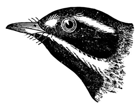 This image represents Black throated Gray Warbler vintage line drawing or engraving illustration.