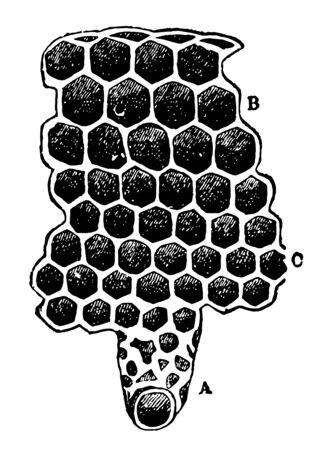 The Cells of a Beehive when a cell is filled with honey the bees seal it with wax vintage line drawing or engraving illustration.