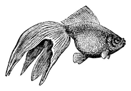 Gold Fish can grow to a maximum length of 23 inches, vintage line drawing or engraving illustration.
