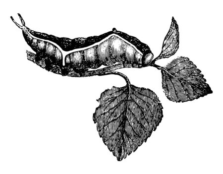 Larva of Dicranura Vinula of the Puss Moth feeds on the poplars and willows vintage line drawing or engraving illustration.