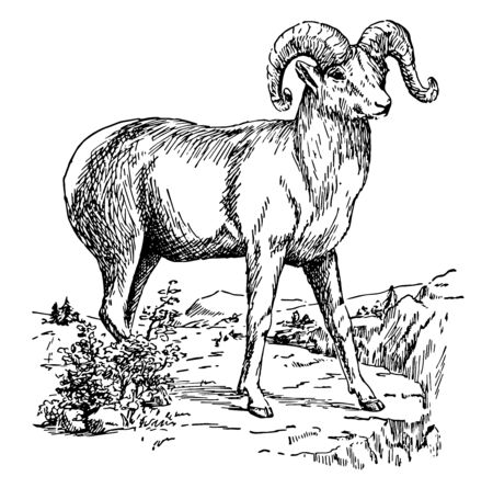 Bighorn Sheep is a wild sheep of the Rocky Mountains vintage line drawing or engraving illustration. Banco de Imagens - 132817368