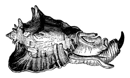 Strombus Gigas with the animal is a peculiar genus belonging to the equatorial seas vintage line drawing or engraving illustration.