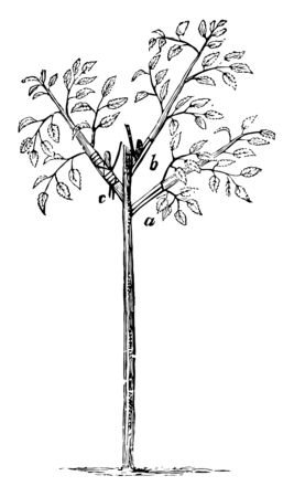 This illustration represents Rose Budding which are used for grafting in agriculture vintage line drawing or engraving illustration.