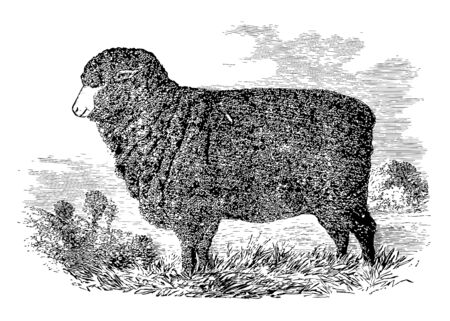 Merino Ewe is an economically influential breed of sheep prized for its wool vintage line drawing or engraving illustration.