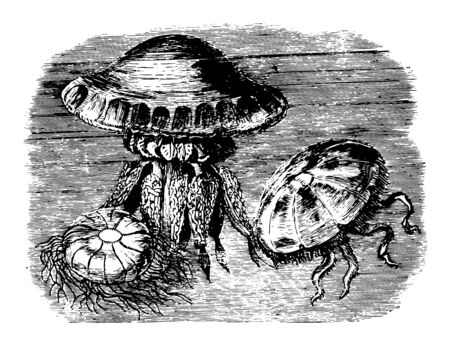 Rhyzostoma Cuvierii which able to make long voyages on the surface of the sea vintage line drawing or engraving illustration.