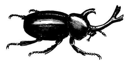 Xylotrupes Dichotomus is a common specimen about an inch long vintage line drawing or engraving illustration.