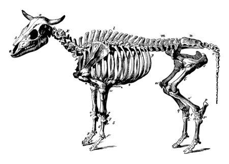 Ox Skeleton is a bovine trained as a draft animal vintage line drawing or engraving illustration. Illusztráció