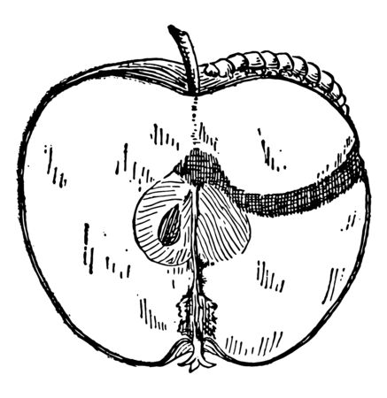 This image showing a worm in the Apple vintage line drawing or engraving illustration. Ilustracja