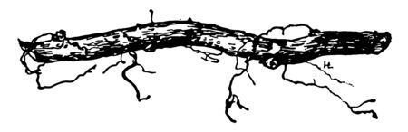 This illustration represents Root Cutting is a root cutting of blackberry vintage line drawing or engraving illustration.